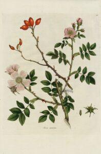 rosa canina-En manos de Nara