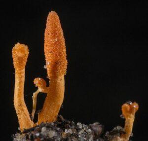 hongo de la oruga tibetano-En Manos de Nara