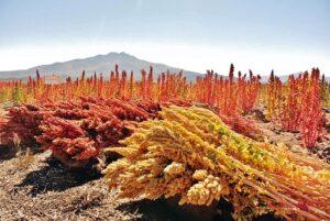 recoleccion quinoa-En Manos de Nara